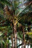 Pálmafák a kókuszdió