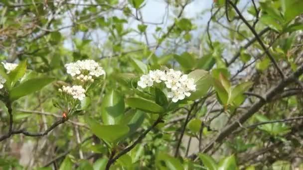 Bílé květy černé chokeberry