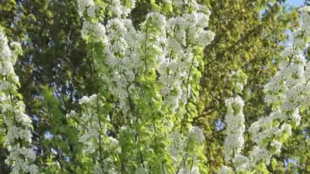 Hruška strom kvete bílými květy. Svěží květinové zahrady