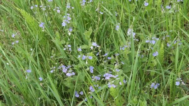 Blossoms Veronica chamaedrys - medicinal plant