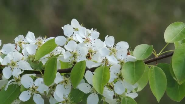 The Pear Tree Blooms White Flowers Lush Flowering Gardens Stock