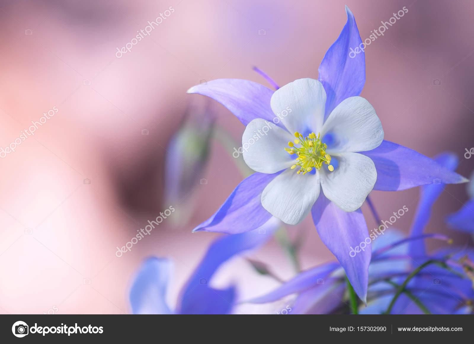 Garden of blue columbine flowers stock photo lana137 157302990 blooming columbine flower and bud close up one beautiful bluish purple flower aquilegia laramensis america photo by lana137 izmirmasajfo
