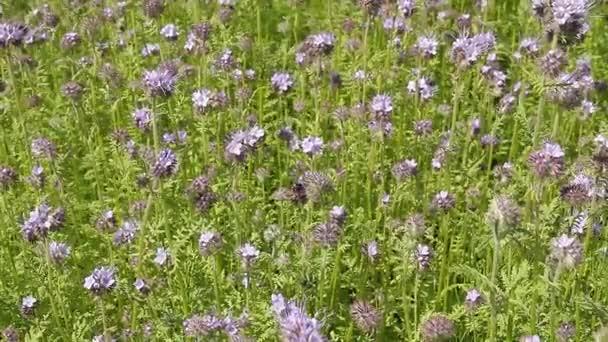 Video na pozadí pozadí pyrmolita pomalu se ve větru v létě. Květ - včelí rostlina