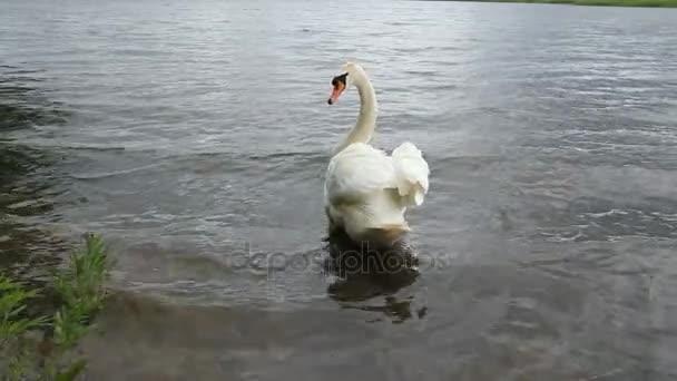 Bílá Labuť na jezeře