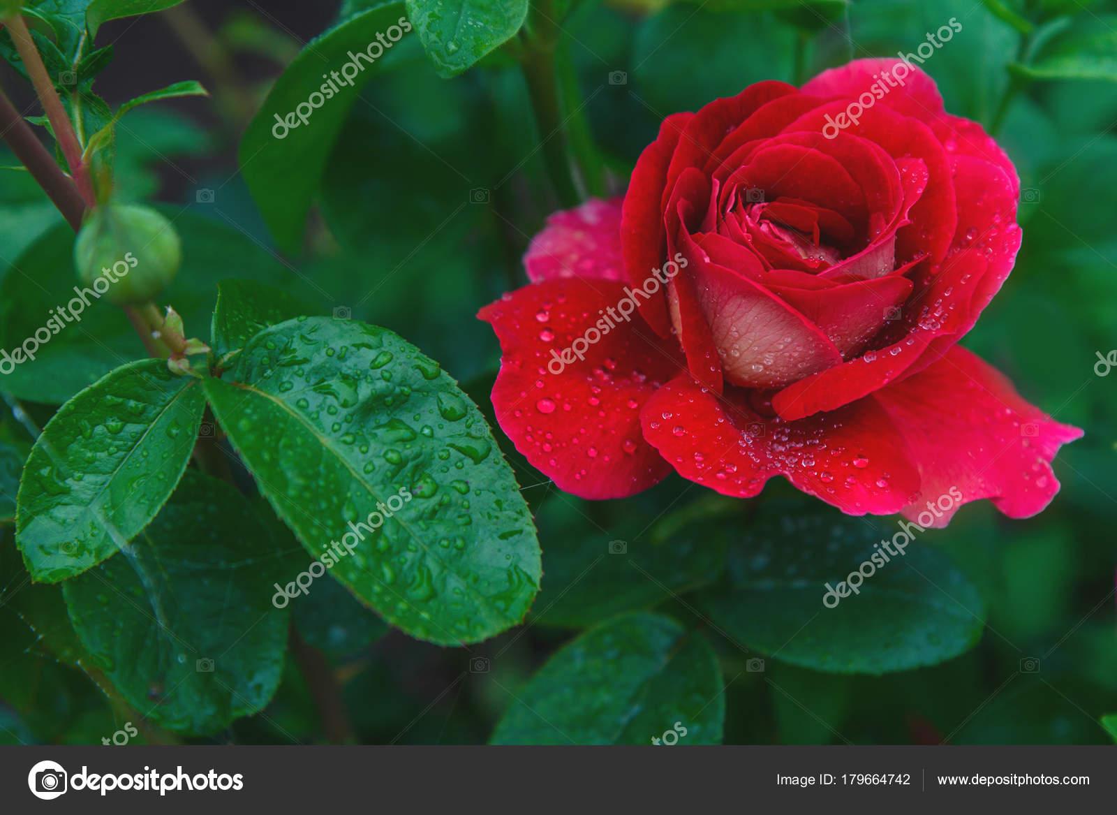 Flores Favoritas Una Rosa Muy Bella Hermosa Rosa Roja Con — Fotos de ...
