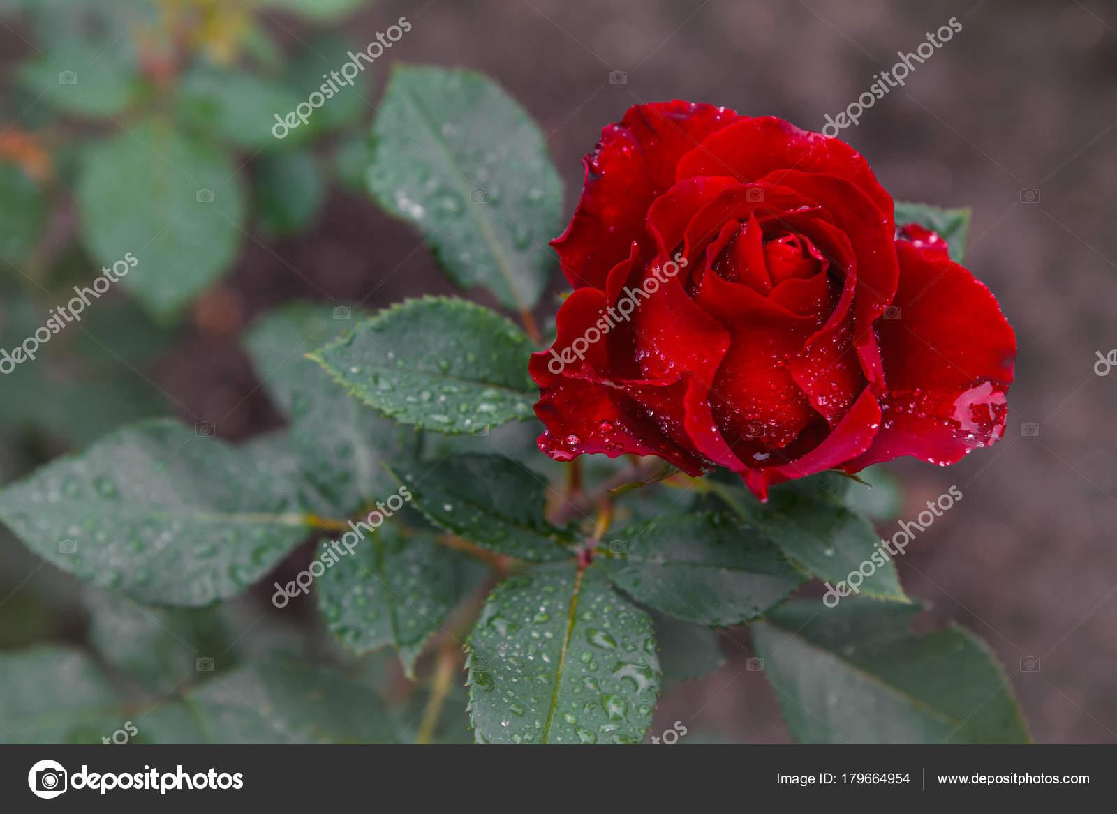 Favorite Flowers Very Beautiful Rose Beautiful Red Rose Drops Dew