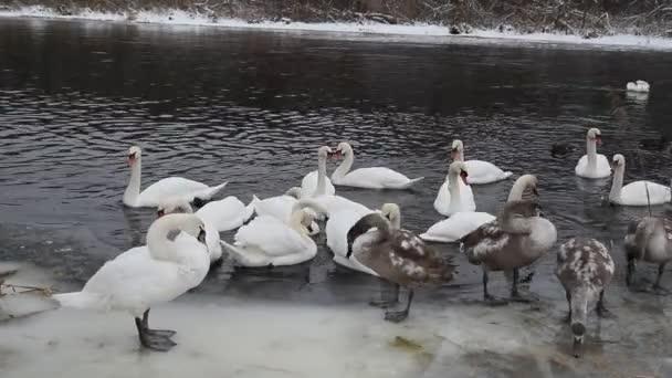 Divoké labutě zima v přírodě