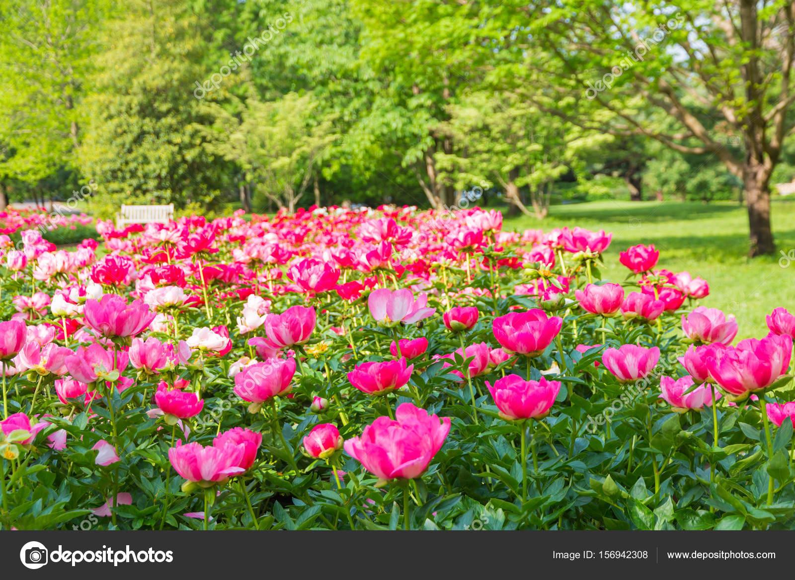 Park Als Tuin : Bloeiende bloemen van de pioenroos in park tuin u2014 stockfoto