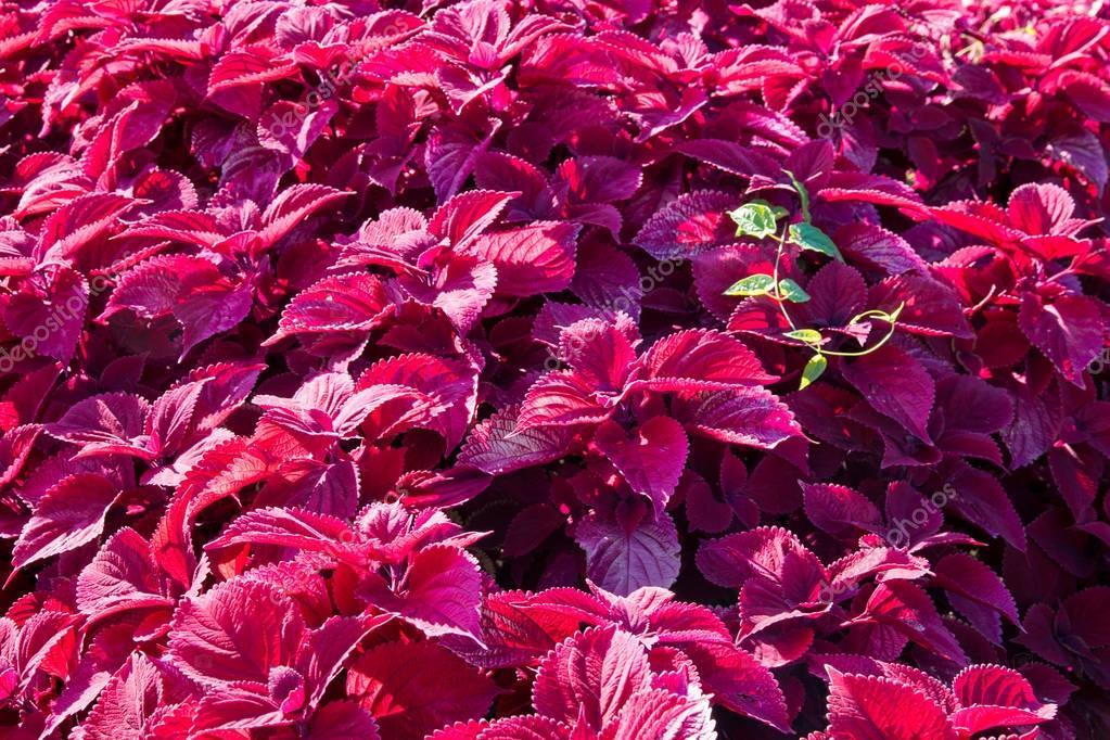 Lieblings Buntnessel Coleus Pflanzen im Garten. — Stockfoto © volgariver &AC_77