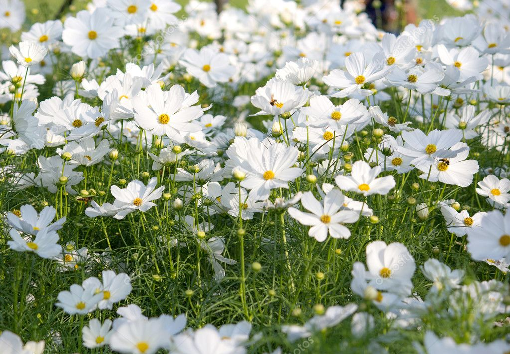 White cosmos flowers in the garden stock photo aopsan 127440114 white cosmos flowers in the garden stock photo mightylinksfo