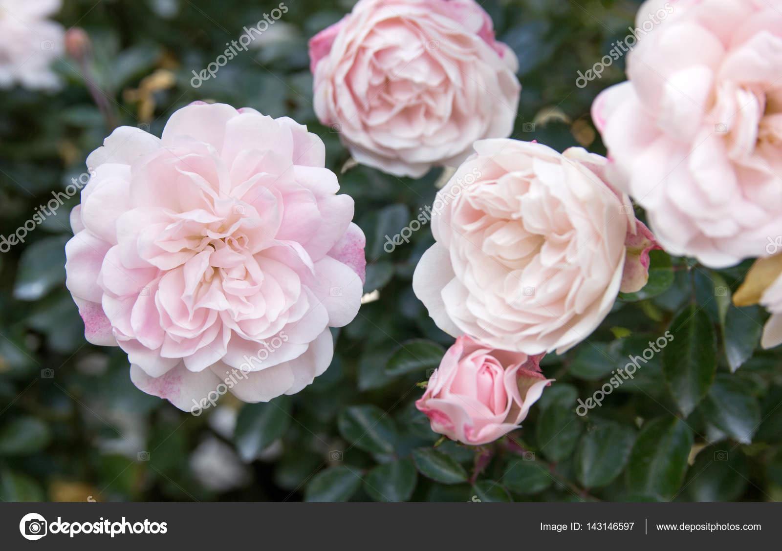 Weiße rose Blume im Garten — Stockfoto © aopsan #143146597