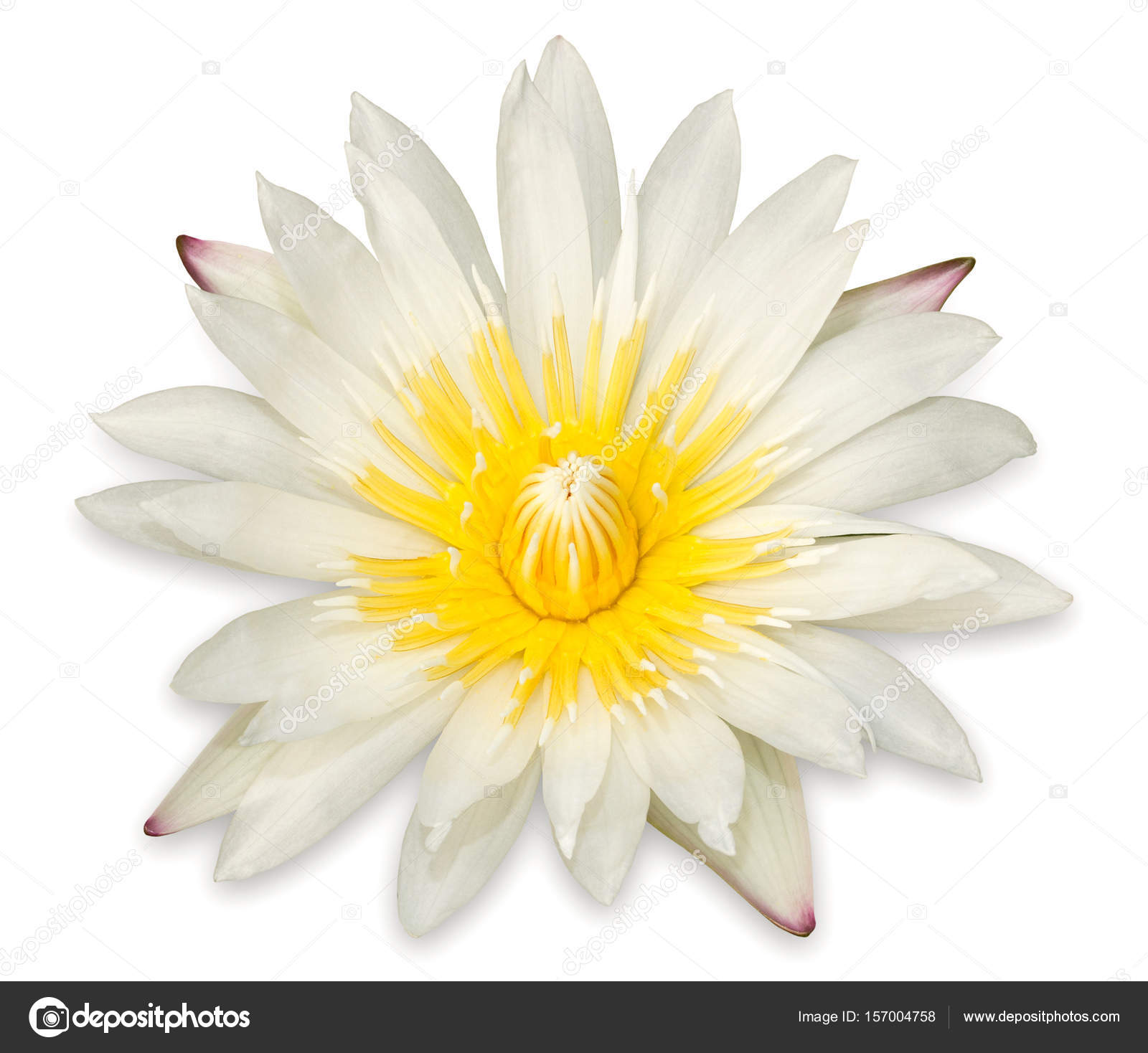 Yellow Lotus Flower Isolated On White Background Stock Photo