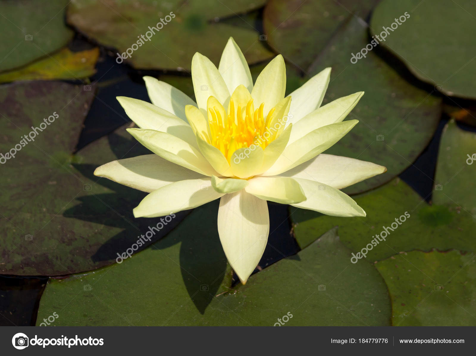 Yellow Lotus Flower In Pond Stock Photo Aopsan 184779776