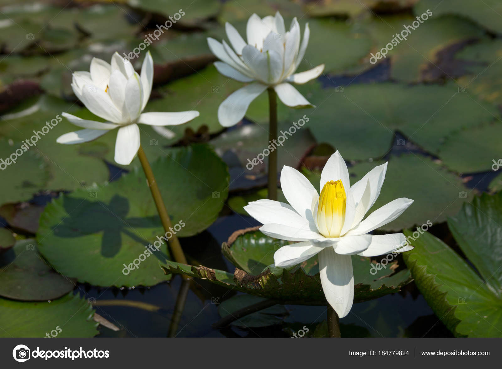 White lotus flower in pond stock photo aopsan 184779824 white lotus flower in pond stock photo izmirmasajfo