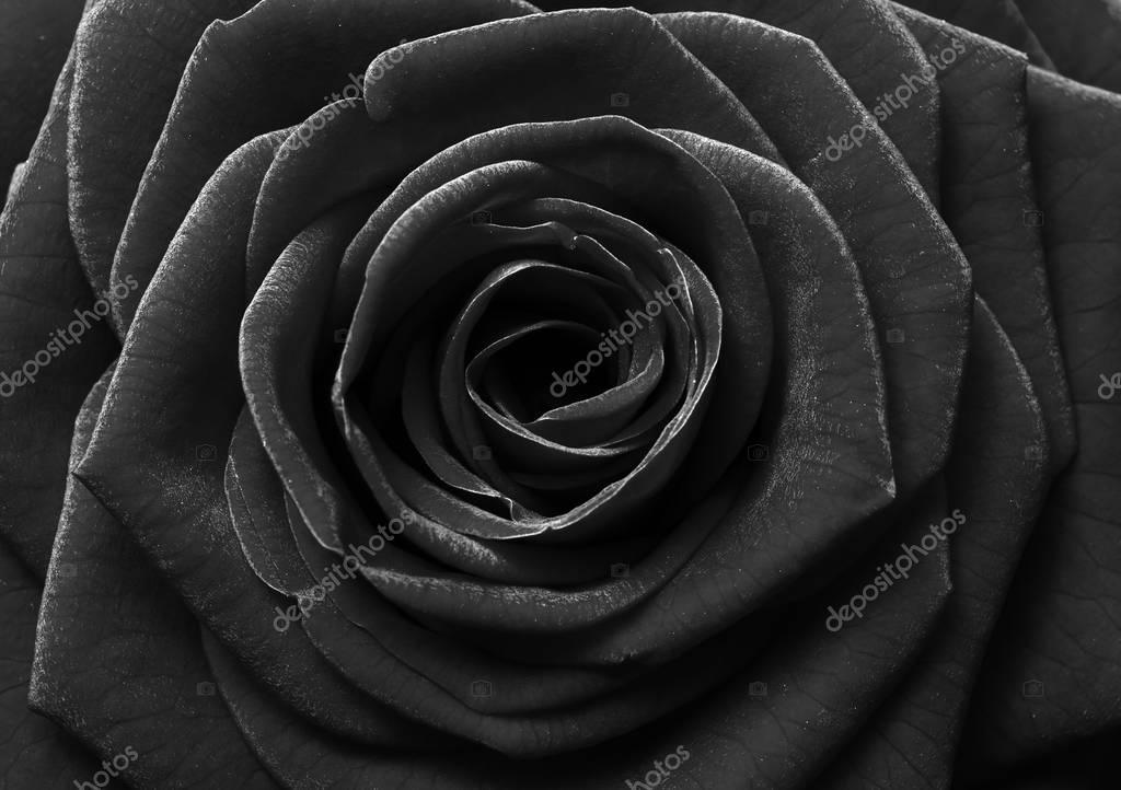 Rose Noire Fleur Photographie Fullempty C 129990160