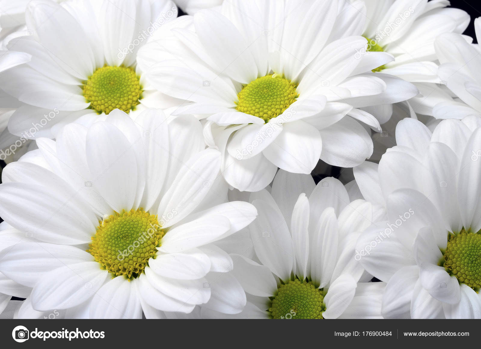 White Daisy Flower Bouquet Stock Photo Fullempty 176900484