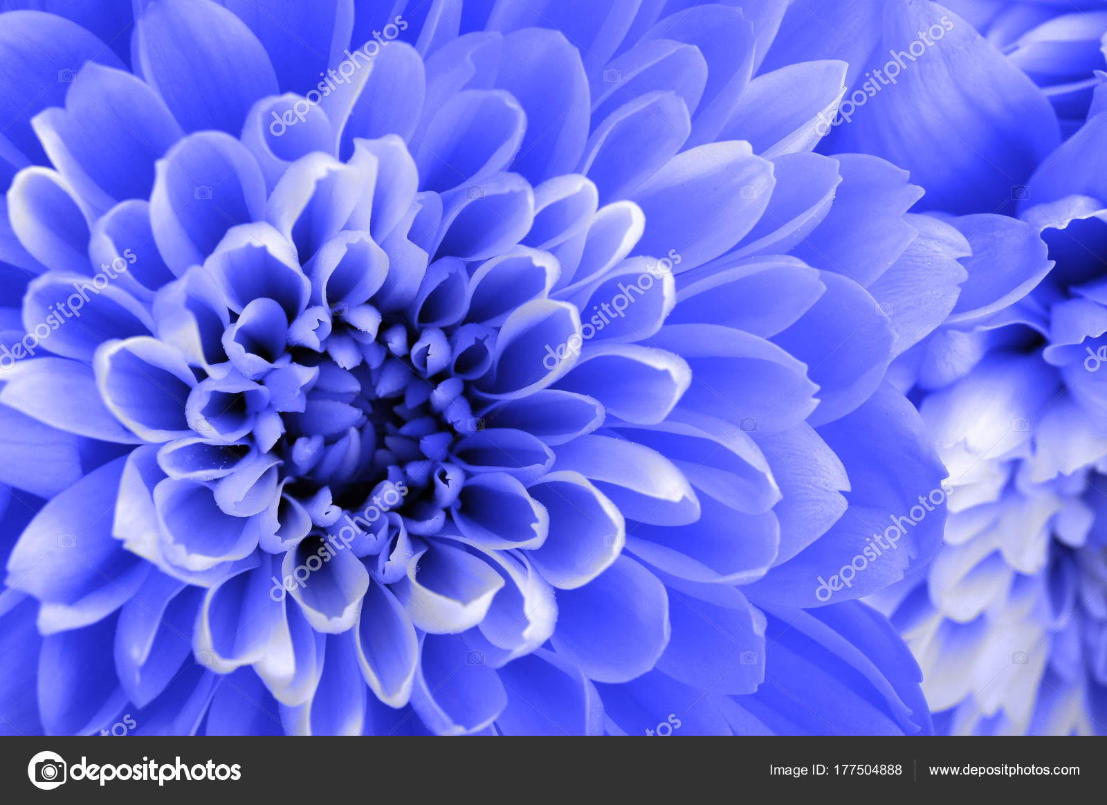 Macro Of Blue Aster Flower Stock Photo Fullempty 177504888