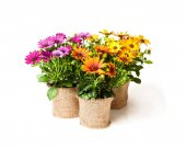 Fotografie beautiful  colorful daisy flowers in small pots decorated with s