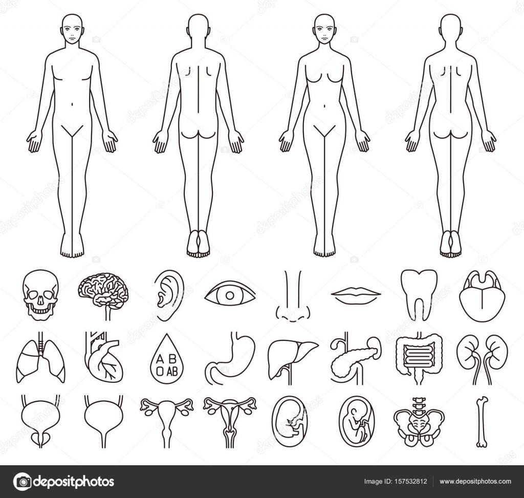 Inneren Organe des menschlichen Körpers, Männer und Frauen ...