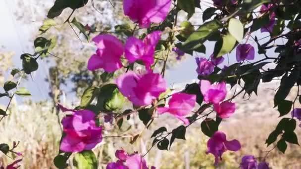 Krásné popínavé květiny nebo papírové květiny kymácí