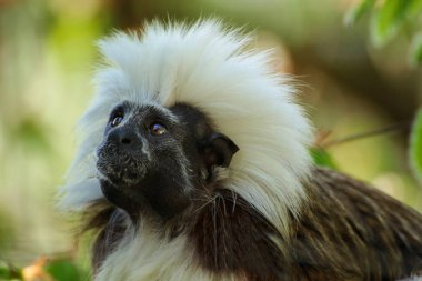 Little monkey - cotton-top tamarin