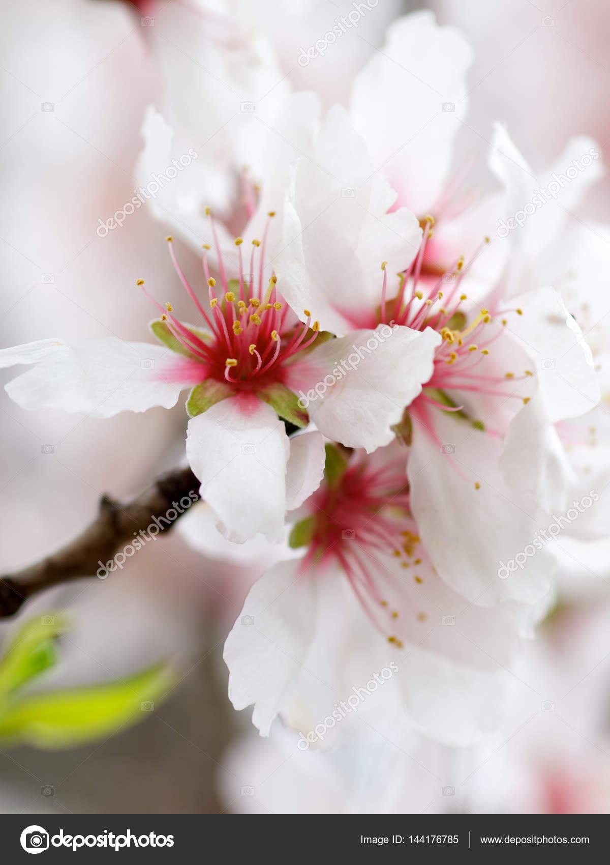 Fleur De Cerisier Blanc Photographie Zhekos_ 144176785