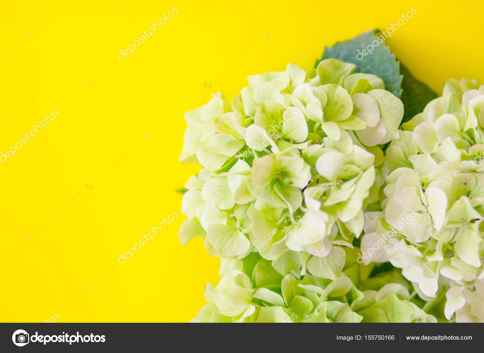 Hydrangea flowers on a yellow background stock photo lish26 hydrangea flowers on a yellow background stock photo mightylinksfo