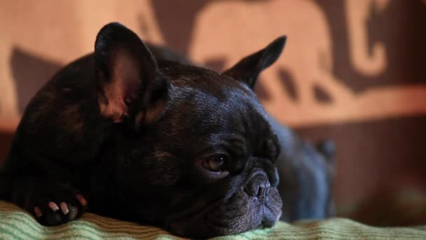 Funny Black French Bulldog Home Day