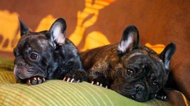 Funny Black French Bulldog Home Day