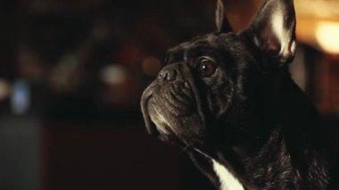 Francia Bulldog Home Interior vár