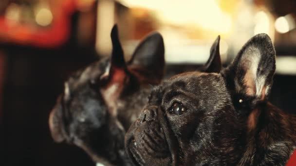 Französische Bulldogge nach Hause warten