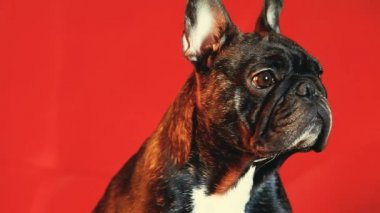 French Bulldog Home Interior wait