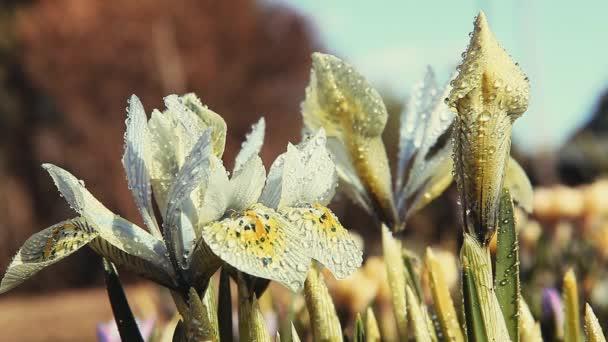 Spring flowers Crocus Footage