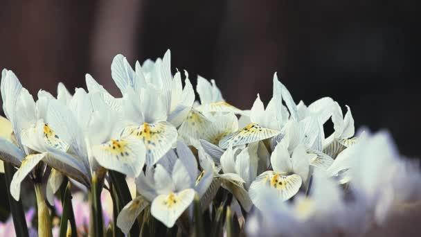 Jarní květiny Krokus záběry