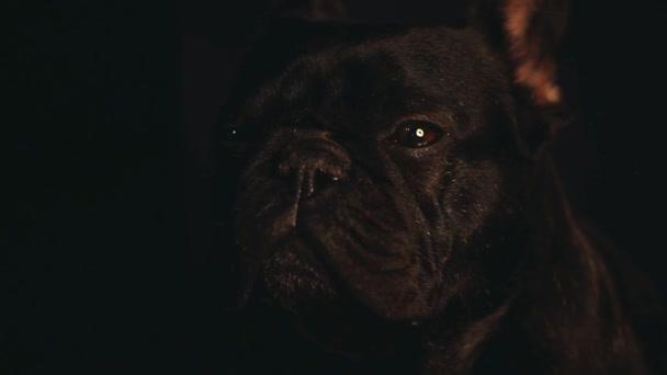 Francia Bulldog otthon belső
