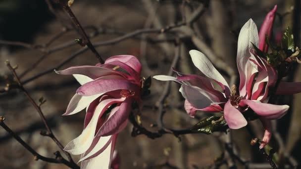 Magnolia strom květiny příroda