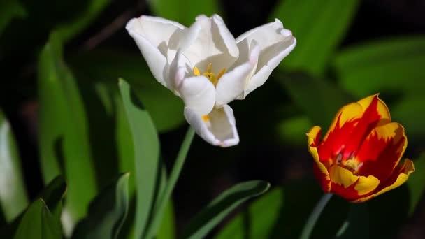 tulip flower summer garden