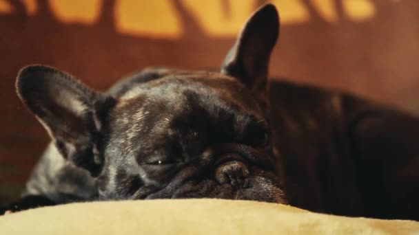 Fekete Francia Bulldog otthon belső