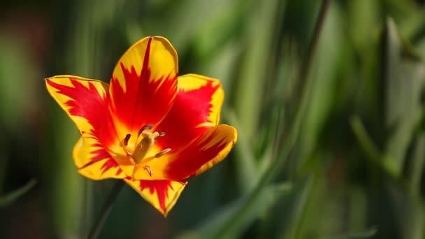 giardino di estate fiore tulipano