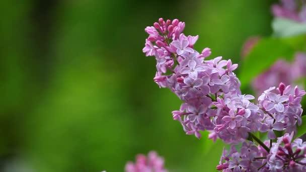 Lila květ letní čas