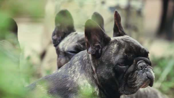 Fekete Francia Bulldog kert