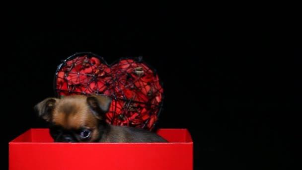 kiskutya papír doboz sötét háttér hd felvételek