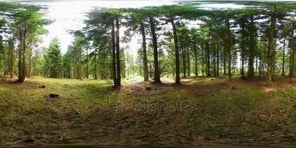 Borovice roste v lese