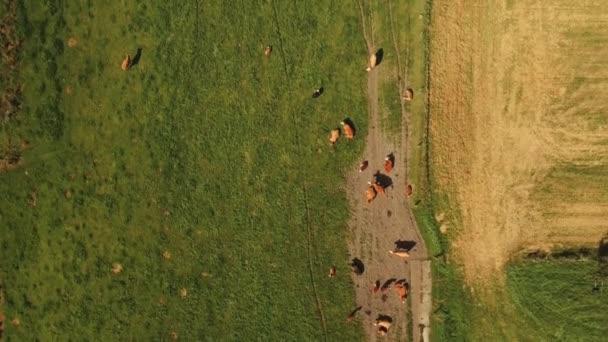 Majestátní dron záběr zdarma dobytek na zelených pastvinách
