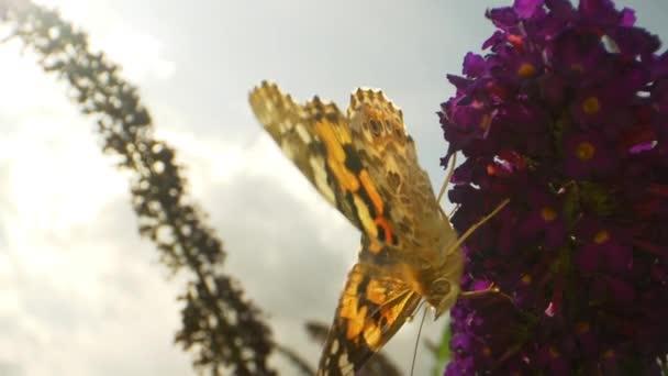 Szoros lövés egy uralkodó pillangó, ahogy szívja Nectar egy lila virág