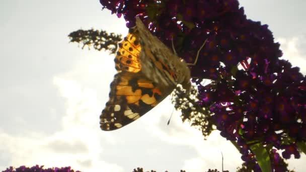 Top Kilátás egy császár pillangó, ahogy függőlegesen lóg a lila virágok