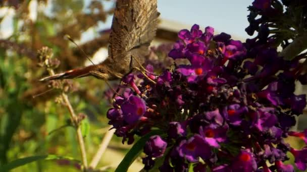 Macro Shot of Monarch Pillangó Pollinating a lila virág