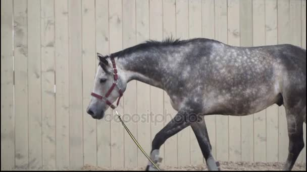 Šedá strakatý kůň chodí na jízdárně.