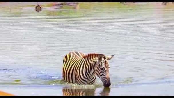 HD közeli videó egy zebráról, amint egy víznyelőben fürdik a kenyai Tsavo East Nemzeti Parkban. Az állat egy kis tó vizében úszik. Ez egy afrikai vadvilág..