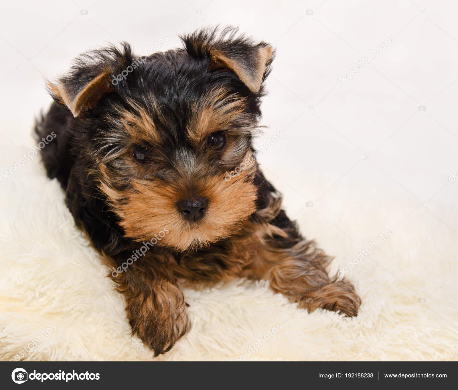 Gyonyoru Kolyok Yorkshire Terrier Stock Foto C Svetamart 192188238